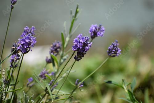 Aluminium Lavendel lavander