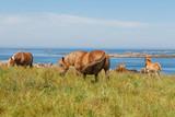 Troupeau de chevaux Traits Bretons au pré près de la côte - 182580060