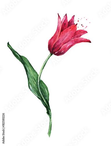 Fototapeta Watercolor red tulip flower