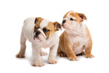 Two English bulldog puppies playing in front of a white background - 182593028