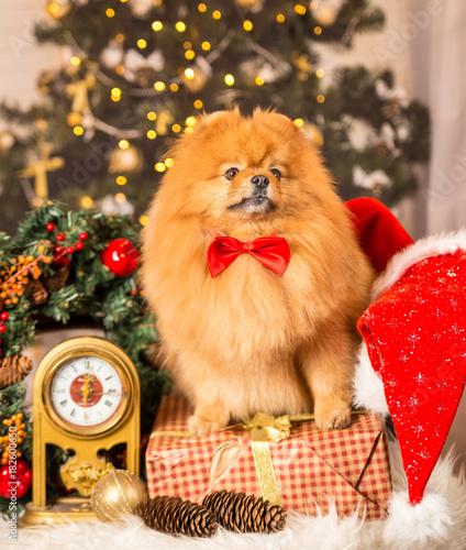 встречает новый год - год собаки