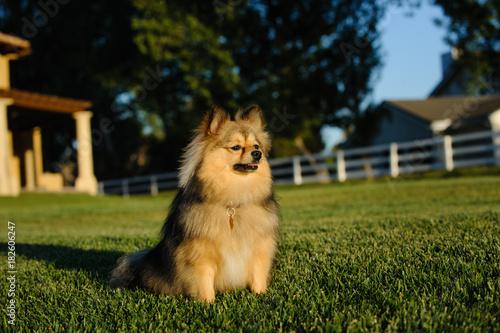 Pomeranian dog sitting on grass yard