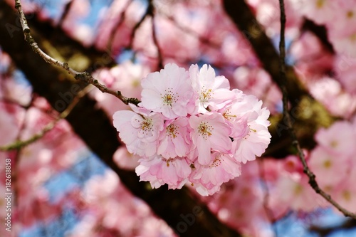 blühende Kirschblüte Poster
