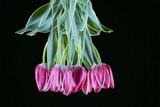 Tulip Still Life - 182620247