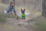 French bulldog puppy running towards the camera in a forest with his careholder in the background