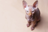 Pink spynx cat on pink background - 182628846