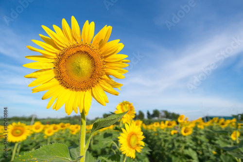Sunflower with a sky background. with copy space for your text message