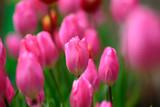 満開の早咲きチューリンプ - 182632659