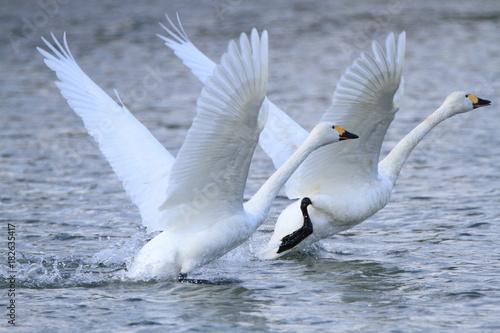 Aluminium Zwaan 助走する白鳥 Swans take off