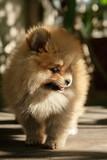 face of little pomeranian dog on wood floor