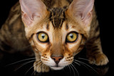 Close up Portrait of Stare Bengal Kitten on isolated on Black Background, front view - 182647448
