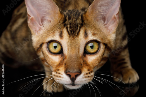 Fotobehang Kat Close up Portrait of Stare Bengal Kitten on isolated on Black Background, front view