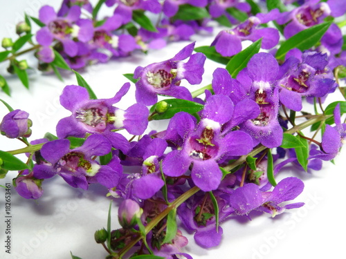 Aluminium Lavendel A group of colourful purple lavender flowers close up in white background. Photo taken in Malaysia