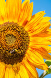 bee on giant sunflower