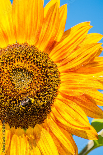 Wall mural bee on giant sunflower
