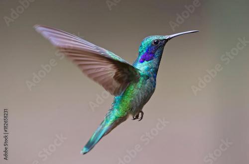 Fotobehang Pauw hummingbird