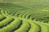 Tea plantation landscape in the north of Thailand - 182658426