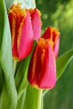 Tulip - 182658678