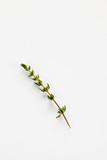 Ein Zweig Thymian auf weißem Hintergrund - 182659075