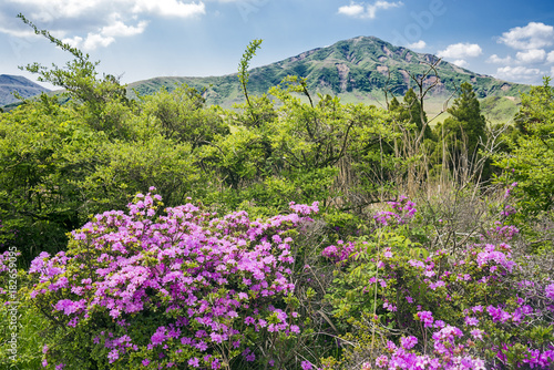 Plexiglas Azalea 阿蘇の烏帽子岳をバックにミヤマキリシマの花