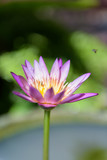 Beautiful  lotus or lily flower in pond,top view - 182660066