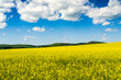 Yellow oilseed rape field under the blue sky with sun - 182660625
