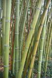 Bambous verts au jardin en été