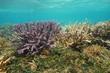 Quadro Acropora staghorn corals underwater, south Pacific ocean, lagoon of Grande Terre island, Oceania, New Caledonia