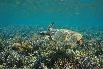 A hawksbill sea turtle Eretmochelys imbricata, underwater on a shallow coral reef, south Pacific ocean, New Caledonia, Oceania
