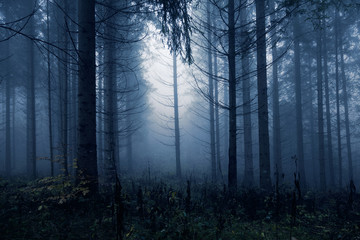 Dark blue colored spooky and misty conifer forest tree landscape. Blue color filter effect used. © robsonphoto