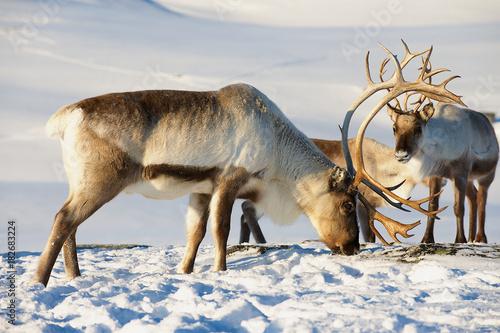 Foto op Aluminium Scandinavië Reindeers graze in deep snow in natural environment in Tromso region, Northern Norway.