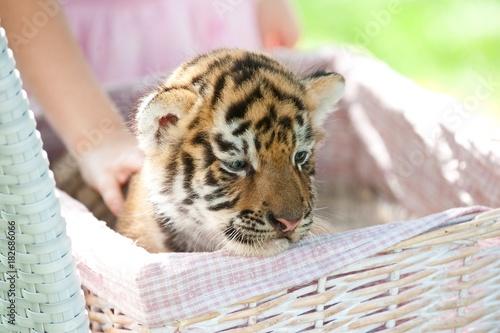 Fotobehang Tijger Beautiful little tiger in a box.