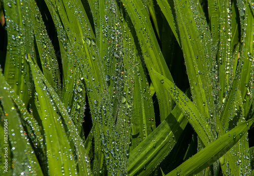 Raindrops on leaves in the morning