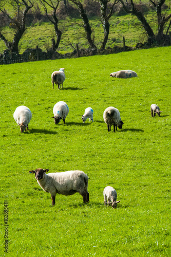 Fotobehang Lente Sheep farming in Ireland on the Sheep's Head Peninsular