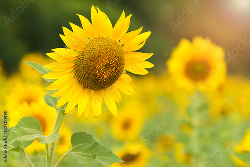 Fototapeta Sunflower field.