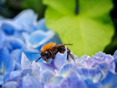 Fotobehang Hydrangea Bee on a Flower