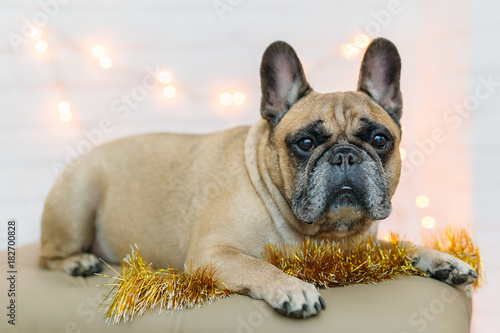 Foto op Canvas Franse bulldog background new year 2018 christmas, year dog, french bulldog