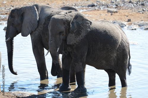 Elephants in Etosha Poster