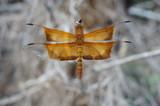 dragonfly Golden - 182704664