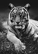 Low angel tiger close up with the animal staring at the camera black and white