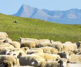 sheeps on autumn pastures near Krivan hill, Slovakia - 182711444