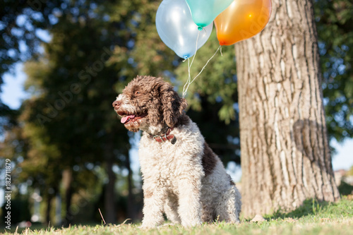 lagotto romagnolo dog with balloons
