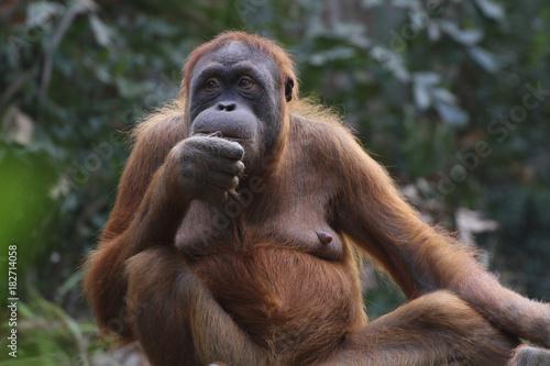 Orang-Utan Weibchen sitzt am Boden, Pongo Poster