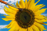composing of a hand pollinating a sunflower with a brush - 182714463