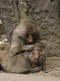 Pawian małpy czyszczące futro - 182722865