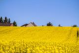 Raps field landscape - 182725840