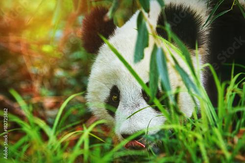 Fotobehang Panda Panda in the Grass