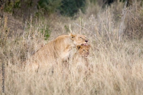 Lioness grooming her cub