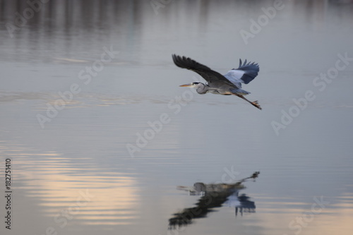 Flying heron over lake with refection on an autumn day in the netherlands Poster