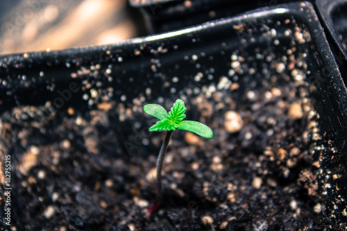 Rise and Shine New Cannabis Growth Seedling Plant